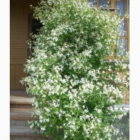 Продам саженцы Дикий Климатис и много других растений (опт от 1000 грн)