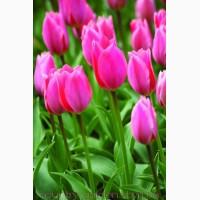 Продам луковицы Тюльпанов Гибрид Фостера и много других растений (опт от 1000 грн)