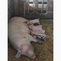 Продам свиней и поросят беконной породы
