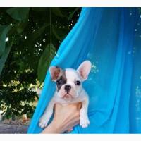 Продам щенка французского бульдога-девочка