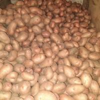 Продам картоплю Словянка