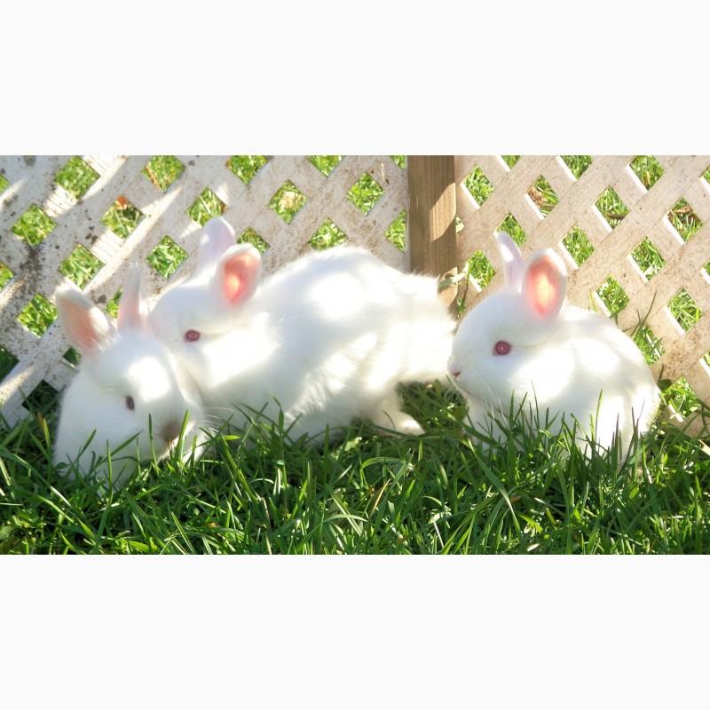 Фото 2. Кролики для разведения. Элит Кроль