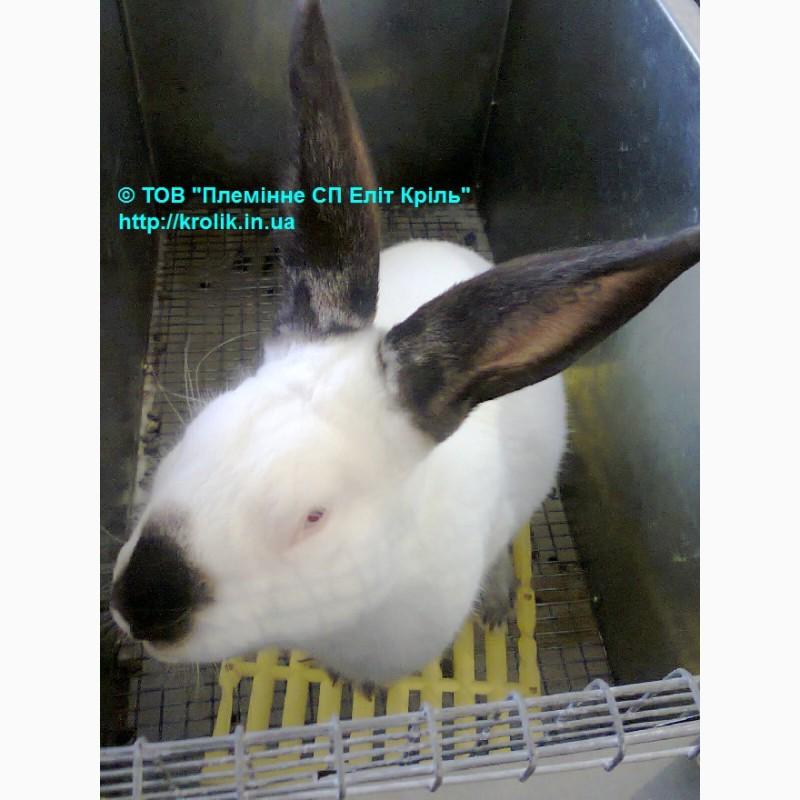 Фото 3. Кролики для разведения. Элит Кроль