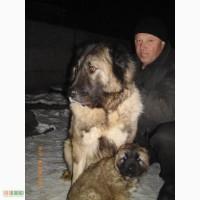 Лучший друг и надёжный охранник! Продам щенков кавказской овчарки.