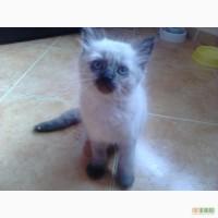 Продам котенка породы Балинез
