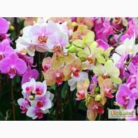 Орхидеи, продажа орхидей, черная орхидея Киев