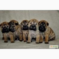 Очаровательные щенки шарпея