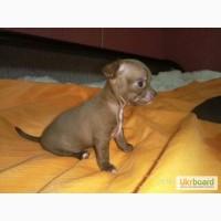 Продам изумительных щенков Чихуахуа!!! Замечательный выбор
