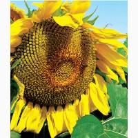 Семена подсолнечника 8Х449КЛДМ от производителя Дау Сидс (Dow Seeds)