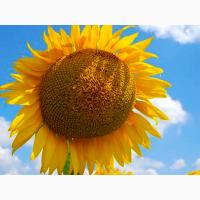 Продаємо якісне насіння соняшнику під різну технологію від виробника/ безкоштовна доставка