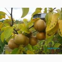 Саженцы плодово-ягодные, а так же декоративные