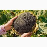 Насіння соняшнику Нео SU (толерантний до гранстару)