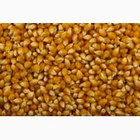 Закупаем пшеницу 4 класс и кукурузу с повышенной зерновой