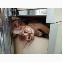 Продам абиссинского котенка