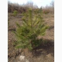 Продам саженцы Сосны Крымской и много других растений (опт от 1000 грн)