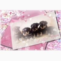 Цвергшнауцер, щенки окраса черный с серебром