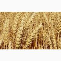 Семена пшеницы твердой ХАРЬКОВСКАЯ 39 элита 1 репрод