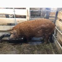 Свинки емонтные Венгерская Мангалица 8-9месяцев ЦЕНА ДОГОВОРНАЯ