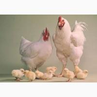 Продам курчата та інкубаційне яйце