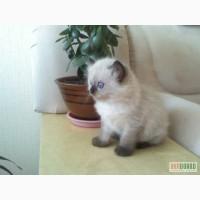 Котята балинез