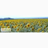 Знижка 15% на насіння соняшника від виробника