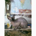 Канадский сфинкс. Вязка