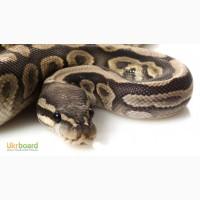 Ручний тигровий пітон стандартна морфа і альбінос особини різного віку та розміру