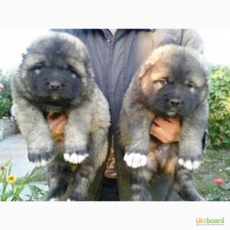 Продам щенков кавказской овчарки