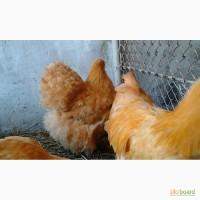 Инкубационные яйца кур породы Орпингтон желтый