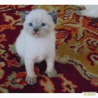 Продам очаровательных тайских котят