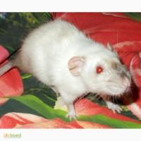 Крысы Дамбо сиамский окрас