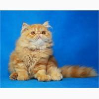 Яркий чистокровный персидский котенок от титулованных родителей