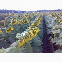 Безліч гібридів (насіння) соняшнику за низькими цінами. Акції та розпродажі завжди