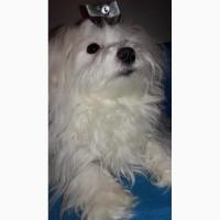Мальтезе-мальчик- ксу-fci шикарный щенок в год собаки