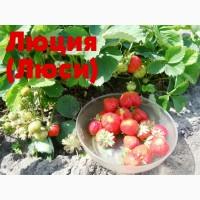 Саженцы / рассада крупноплодная садовая земляника