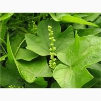 Діоскорея ніппонська, диоскорея ниппонская (Dioscorea nipponica)