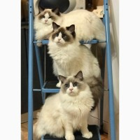 Шикарные котята уникальной и редкой породы - РЭГДОЛЛ