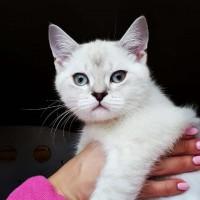 Очень красивый и умный котенок линкс поинт, 3 месяца, привит полностью