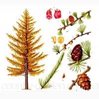 Продам саженцы Листвиницы и много других растений (опт от 1000 грн)
