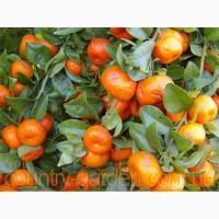 Продам Мандарин в горшках, комнатное растение и много других растений (опт от 1000 грн)