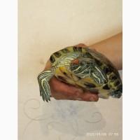 Продам черепаху (красноухая)