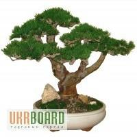 Деревья бонсай из питомника по низким ценам