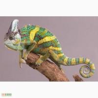 Продам Йеменский хамелеон Chamaeleon calyptratus