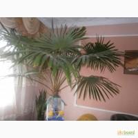 Продам пальму