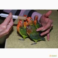 Ручные попугаи Неразлучники выкормыши зеленые и желтые