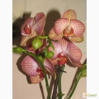Продам орхидеи цветущие и не цветущие