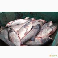 Продам: Живая рыба толстолобик оптом живым весом со своего пруда