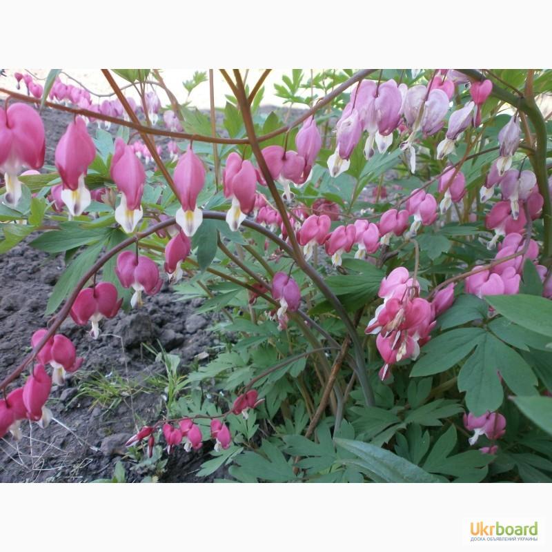 Астра кустарниковая сорта размножение и уход за растением