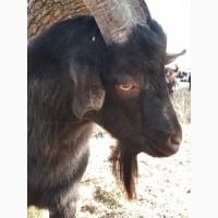 Продам 100% Альпийского козлика на племя