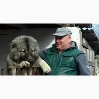 Кабель кавказской овчарки приглашает для вязки